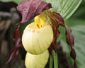 Cypripedium Rascal