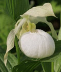 Cypripedium Sabine Pastel