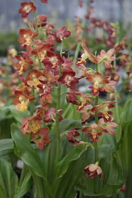 Calanthe kojima red
