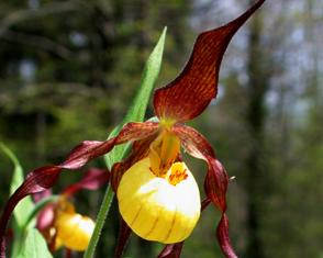 Cypripedium Hank Small lady Slipper