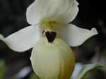 Cypripedium flavum Lady slipper