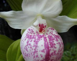 Cypripedium ulla silkens lady slipper