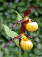 Cypripedium fasiolatum Lady Slipper