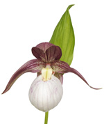 Cypripedium kentuckiense Lady Slipper