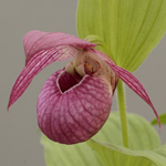 Cypripedium Tilman lady slipper