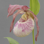 Cypripedium Delphine