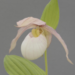 Cypripedium Francis