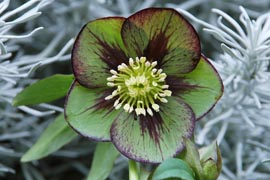 Helleborus�x hybridus `Winter Jewel Jade Star