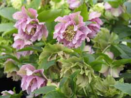 Helleborus x hybridus Double Queen Mix
