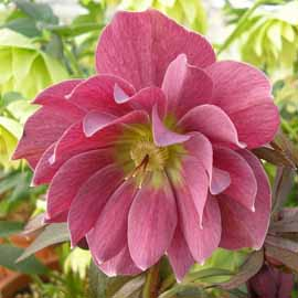 Helleborus x hybridus Kingston Cardinal