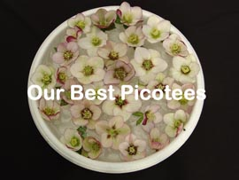 Helleborus�x hybridus `Pine Knot Select�Our best Picotee�