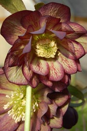 Helleborus�x hybridus `Winter Jewel Harlequin Gem