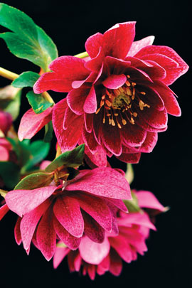 Helleborus x hybridus Winter Jewel Amethyst Gem