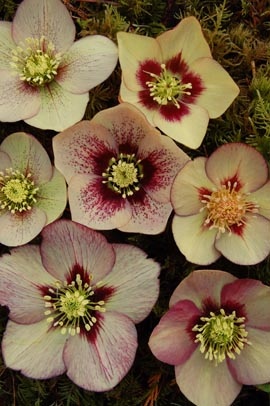 Helleborus�x hybridus `Winter Jewel Apricot Blush