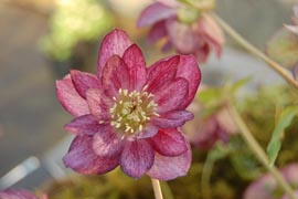 Helleborus�x hybridus `Winter Jewel Berry Swirl�