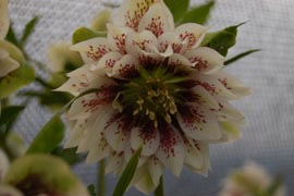 Helleborus�x hybridus `Winter Jewel Double Painted�