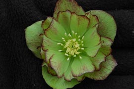 Helleborus�x hybridus `Winter Jewel Jade Tiger�