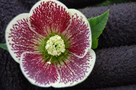 Helleborus�x hybridus `Winter Jewel Painted