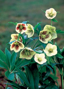 Helleborus�X hybridus Yellow Lady