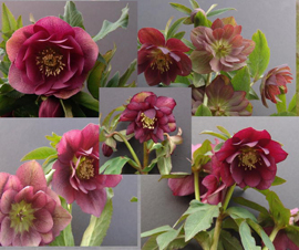Helleborus x hybridus Pine Knot Select OUr Best Double Reds
