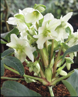 Helleborus x nigercors White Beauty