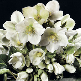 Helleborus�x nigercors�`HGC Ice Breaker Fancy'