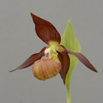Cypripedium schoko