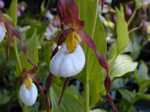 Cypripedium montanum Mountain Lady Slipper