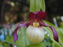 Cypripedium Gisela lady slipper