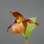 Cypripedium Annegret Lady Slipper