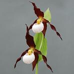 Cypripedium Boots            Lady Slipper