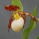Cypripedium Gabriel Lady Slipper