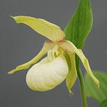 Cypripedium X ventricosum light (Pastel) Lady Slipper