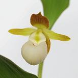 Cypripedium californicum Lady Slipper