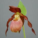 Cypripedium kentuckiense x microsaccus Lady Slipper