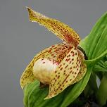 Cypripedium lichangense x fasciolatum Lady Slipper