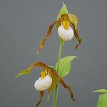 Cypripedium montanum x henryi Lady Slipper